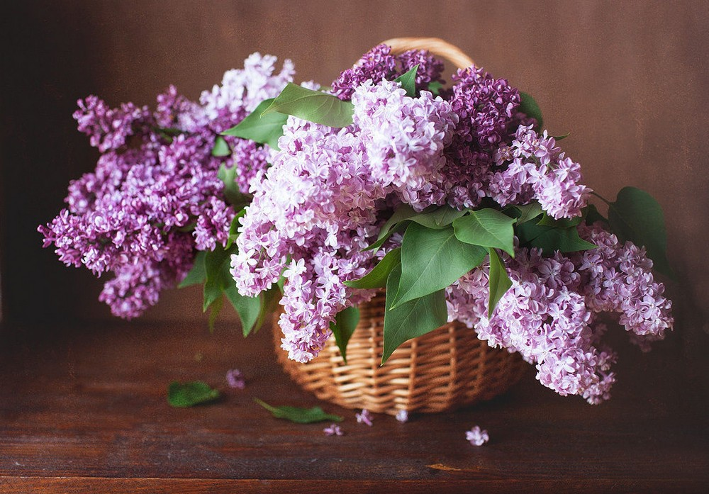 Beautiful lilacs in a still life photos 07