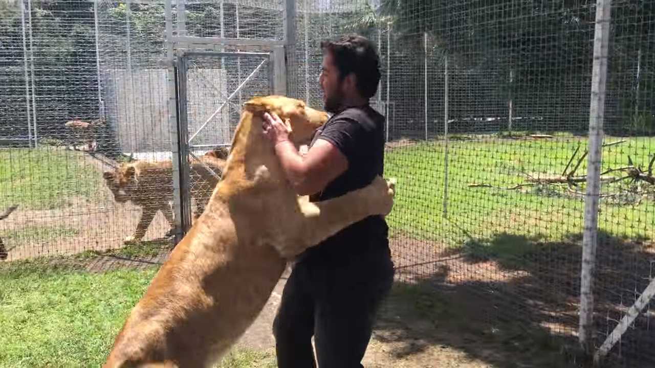 Emotional reunion of a lioness and the guy who helped her out