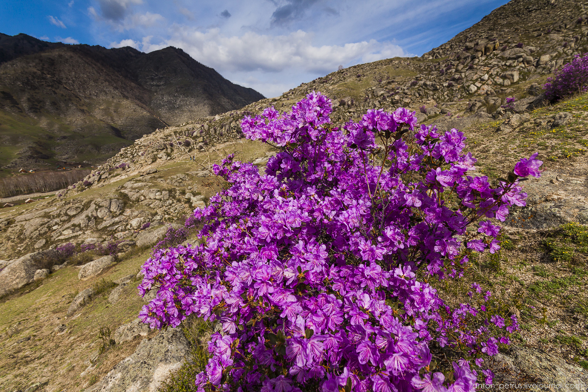 Flowering maralnik in the Altai 06