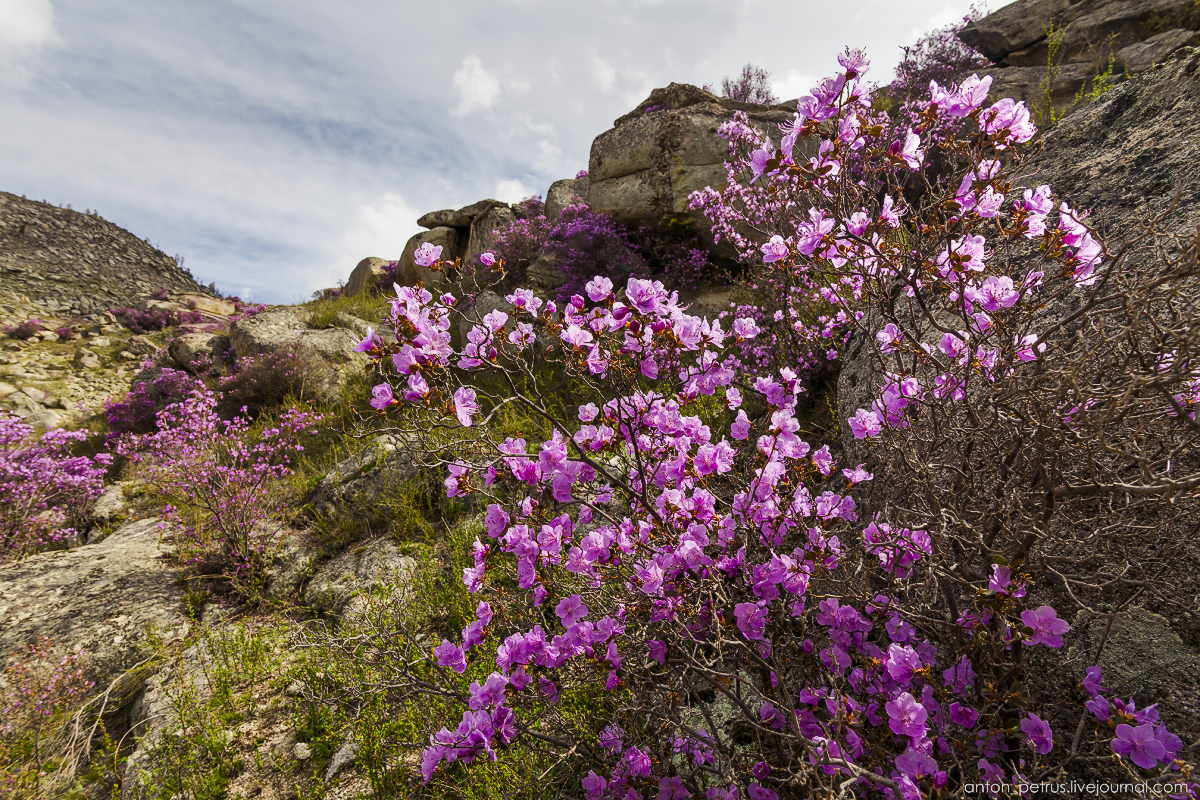 Flowering maralnik in the Altai 08