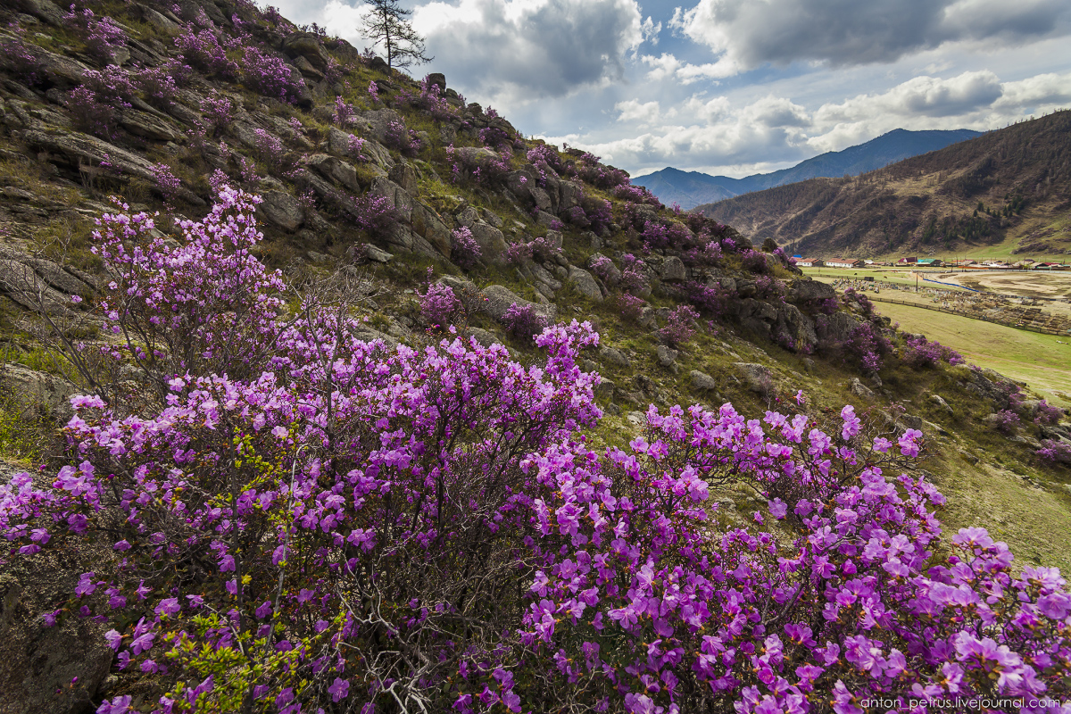 Flowering maralnik in the Altai 10