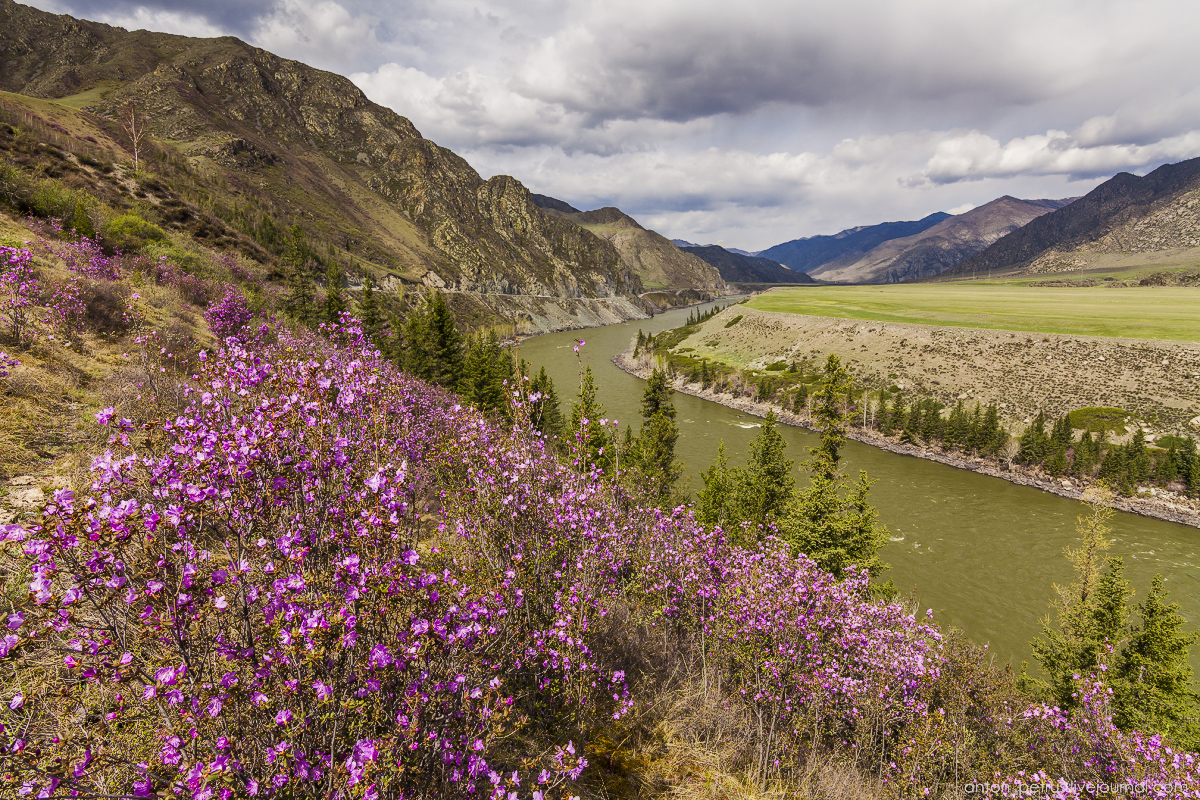 Flowering maralnik in the Altai 12