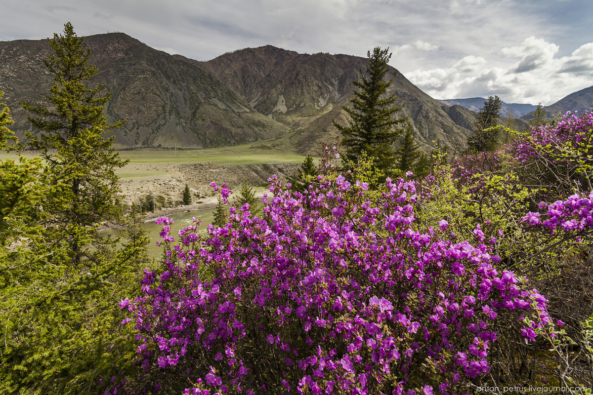 Flowering maralnik in the Altai 13