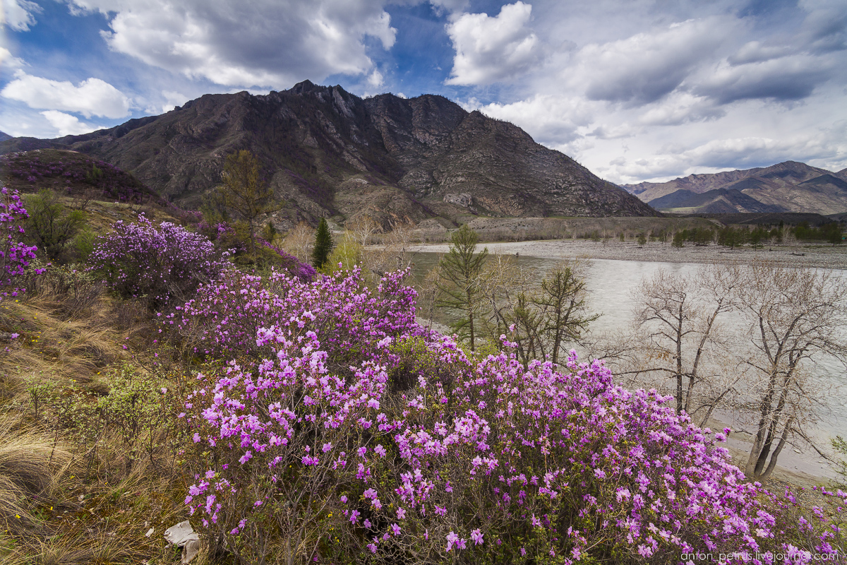 Flowering maralnik in the Altai 14