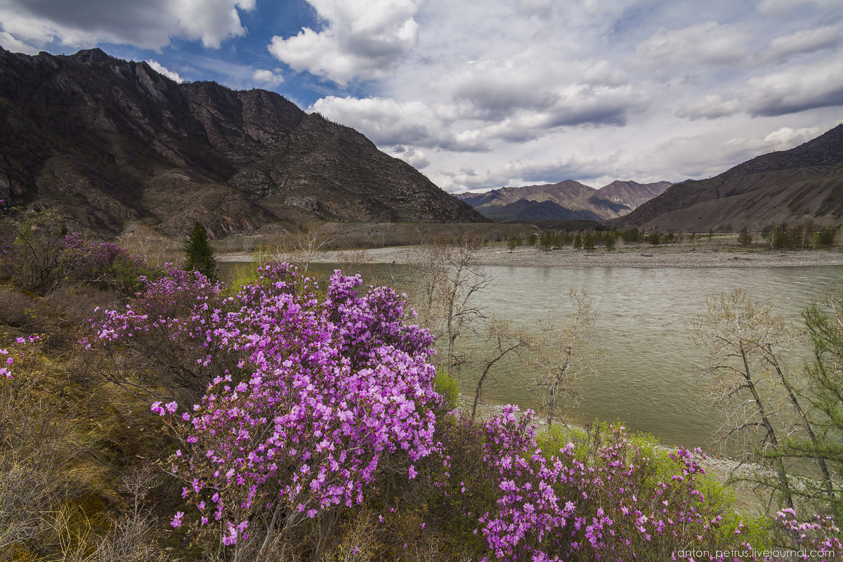 Flowering maralnik in the Altai 15
