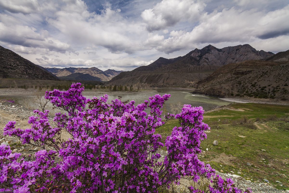 Flowering maralnik in the Altai 17
