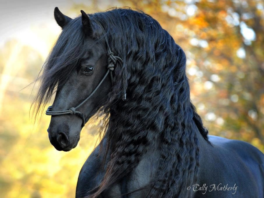 Friedrich - the most beautiful horse in the world 13