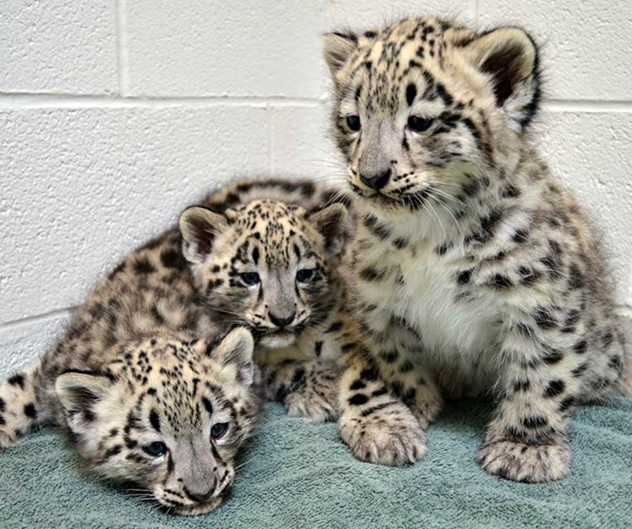 In Ohio zoo first came to light three baby snow leopards 01