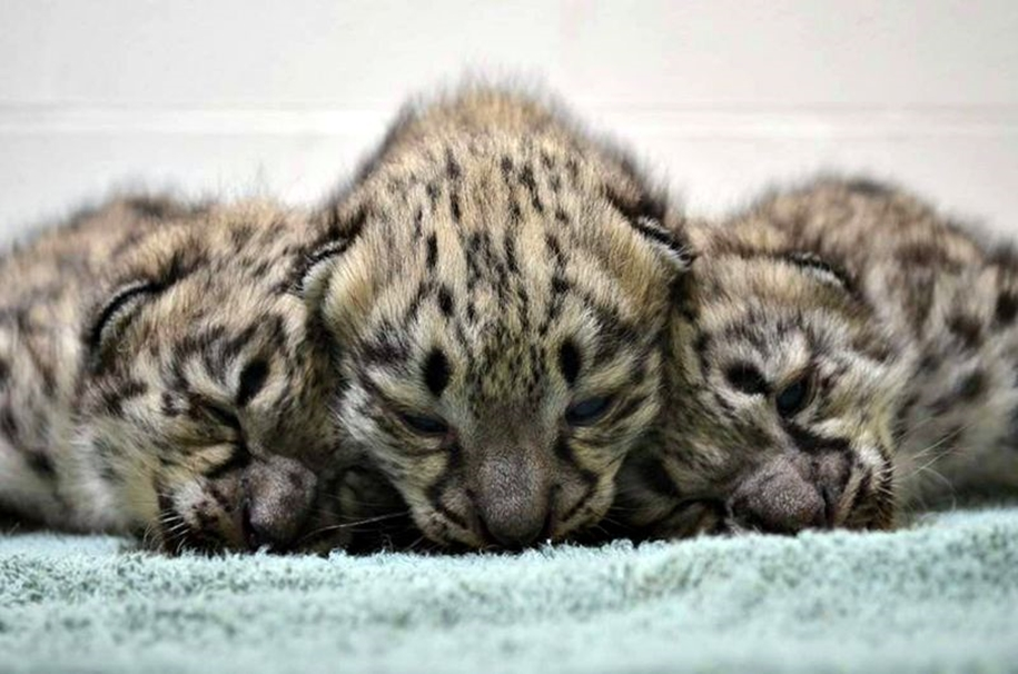 In Ohio zoo first came to light three baby snow leopards 02
