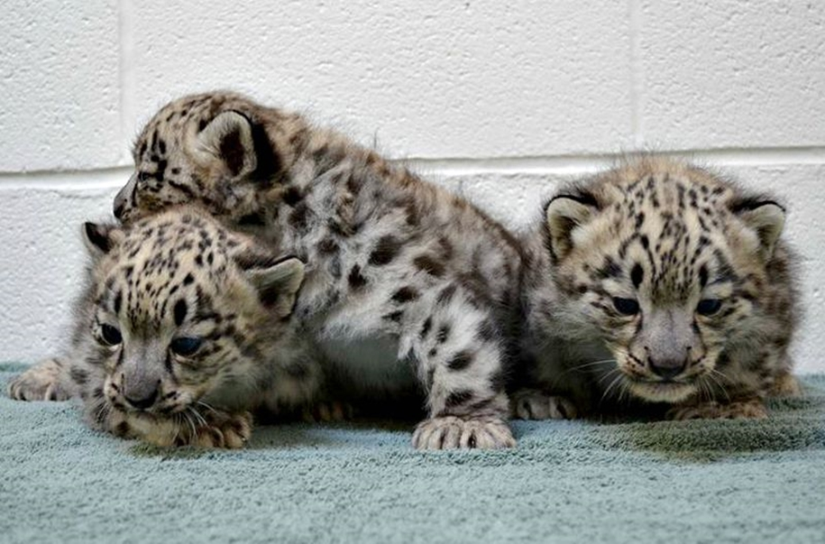 In Ohio zoo first came to light three baby snow leopards 04
