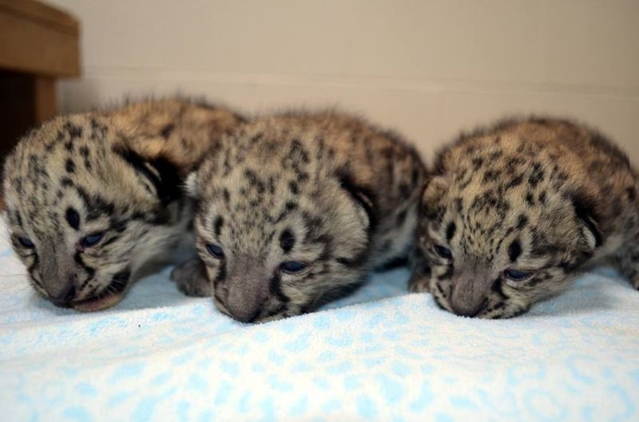 In Ohio zoo first came to light three baby snow leopards 07