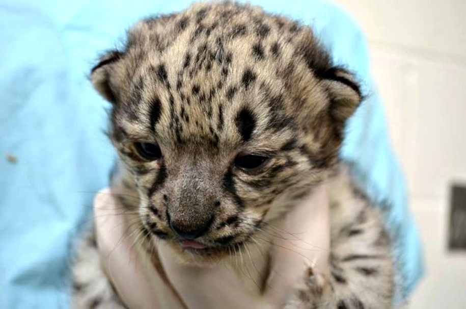 In Ohio zoo first came to light three baby snow leopards 08