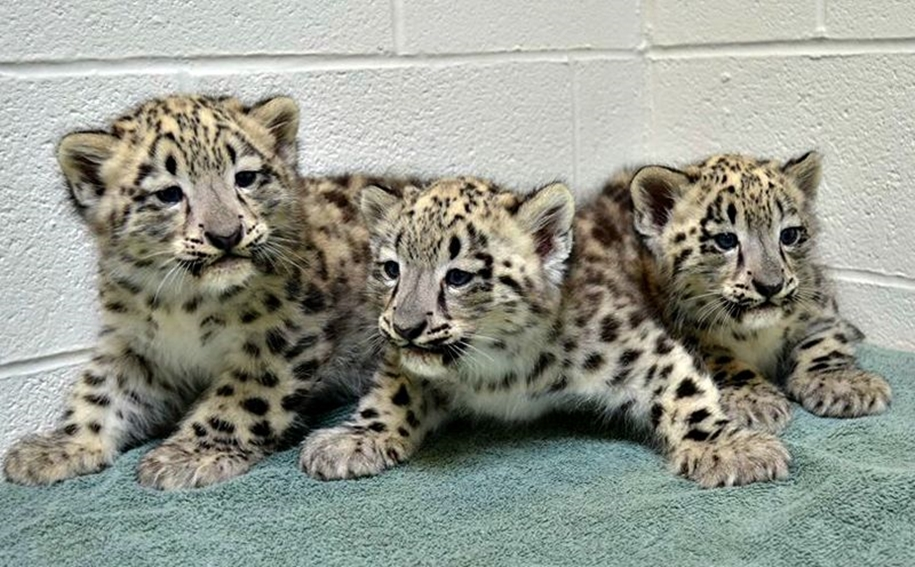 In Ohio zoo first came to light three baby snow leopards 09