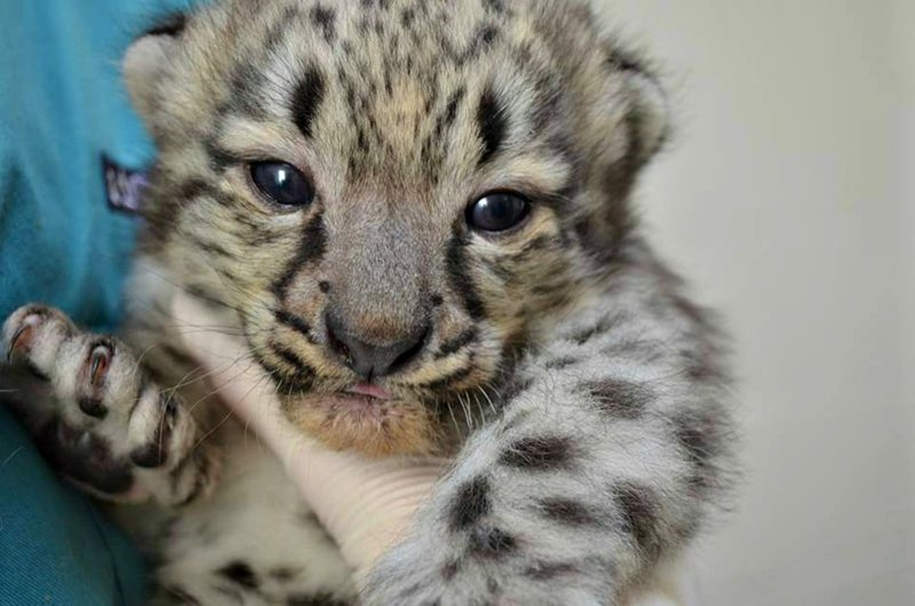 In Ohio zoo first came to light three baby snow leopards 10