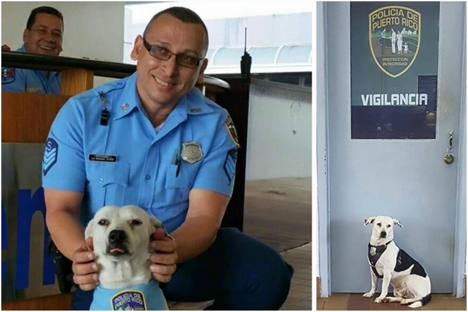 In Puerto Rico homeless dog found a job in a police station 01