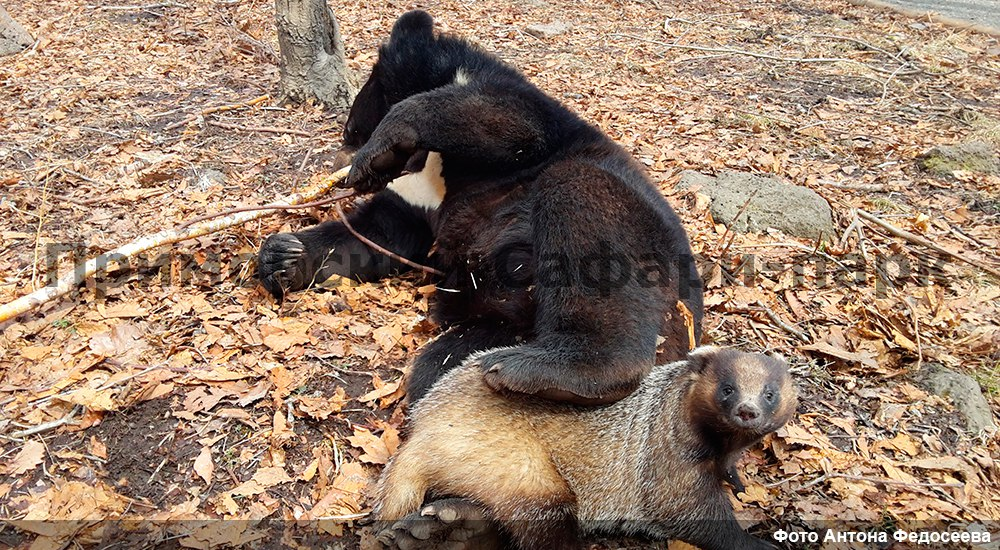 In the Safari Park of Primorye became friends bear and badger 01