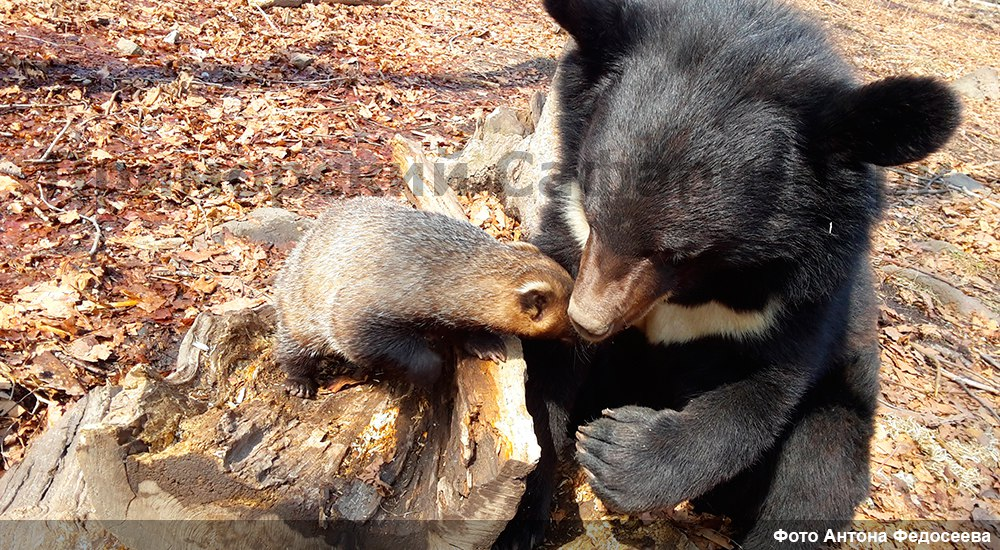 In the Safari Park of Primorye became friends bear and badger 02