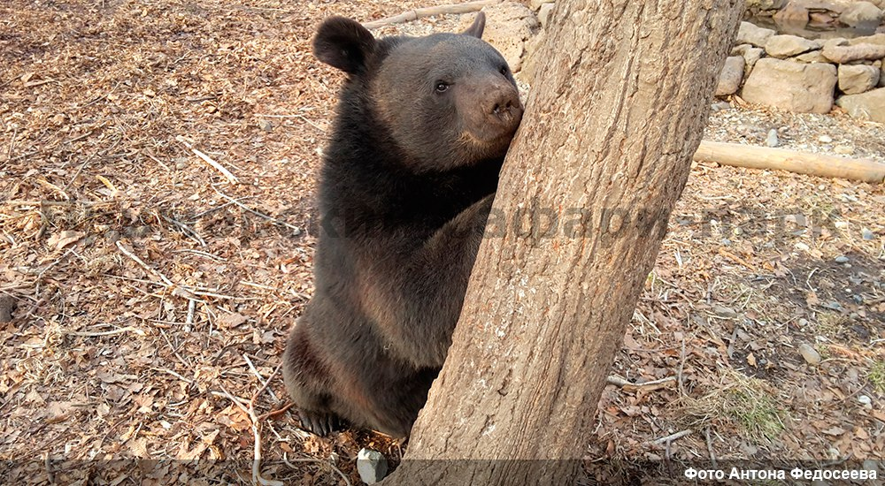 In the Safari Park of Primorye became friends bear and badger 04