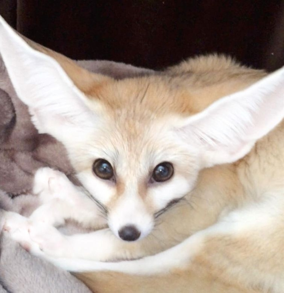 New star Instagram, Fox breed Fenech - Kuzma 08