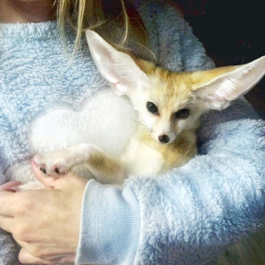 New star Instagram, Fox breed Fenech - Kuzma 10