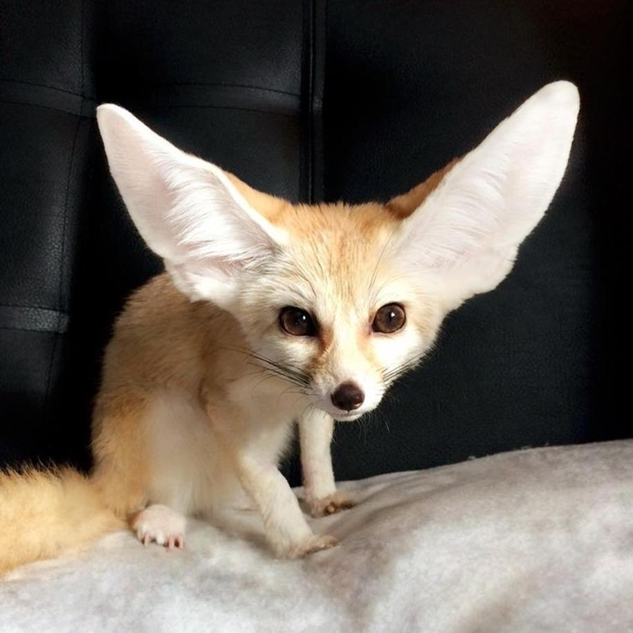 New star Instagram, Fox breed Fenech - Kuzma 12