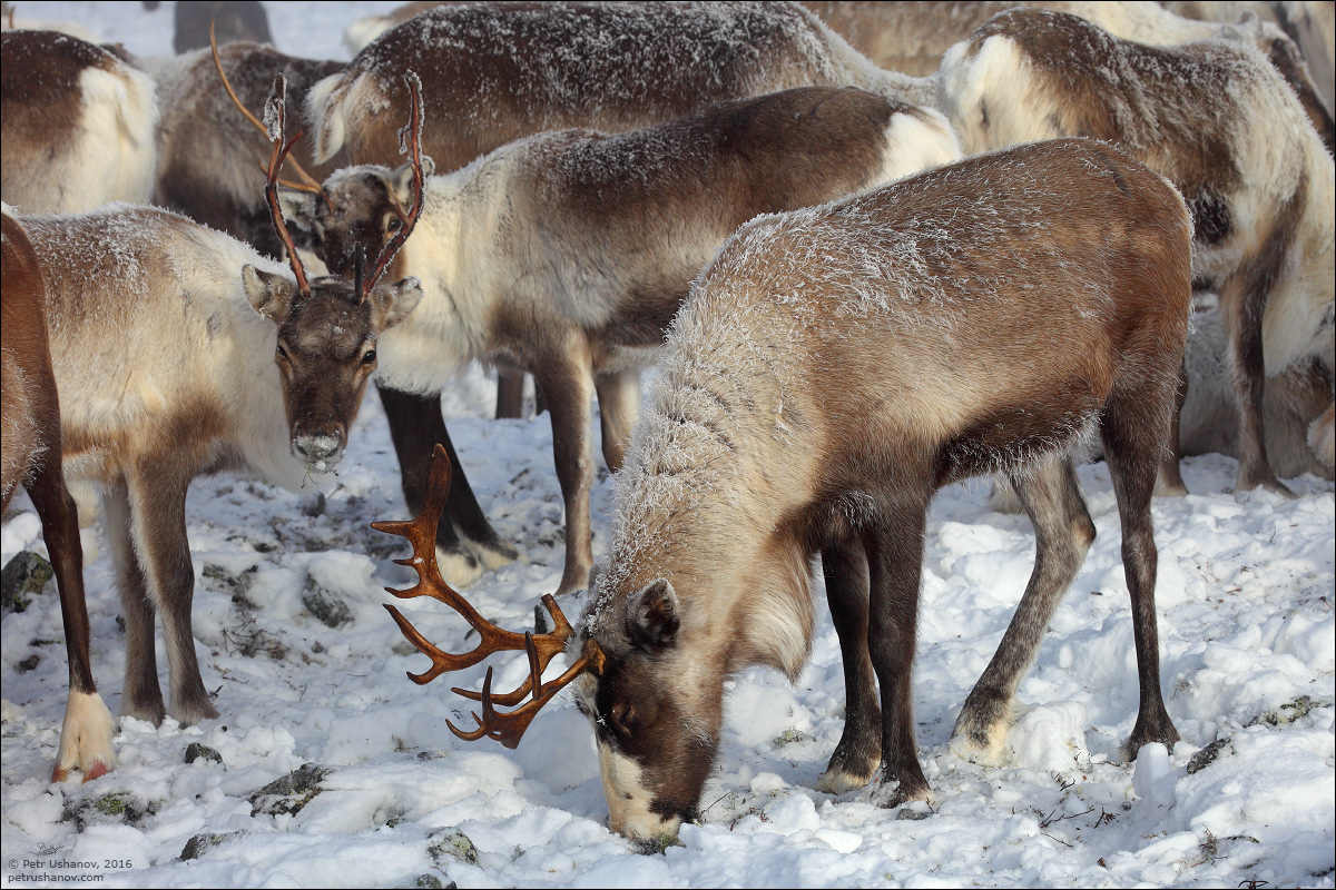Polar Urals - a trip to the Nenets 14