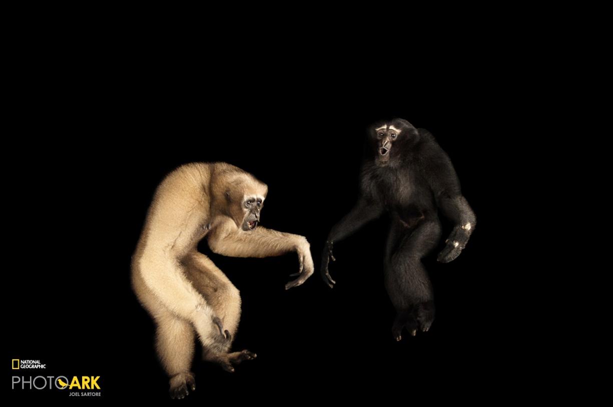Rare primates 06