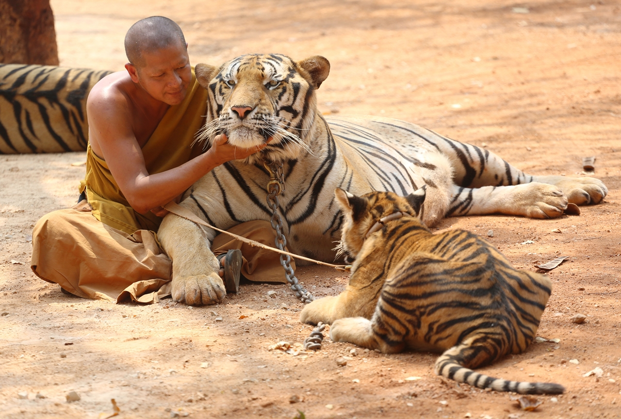 Thai tiger temple 01