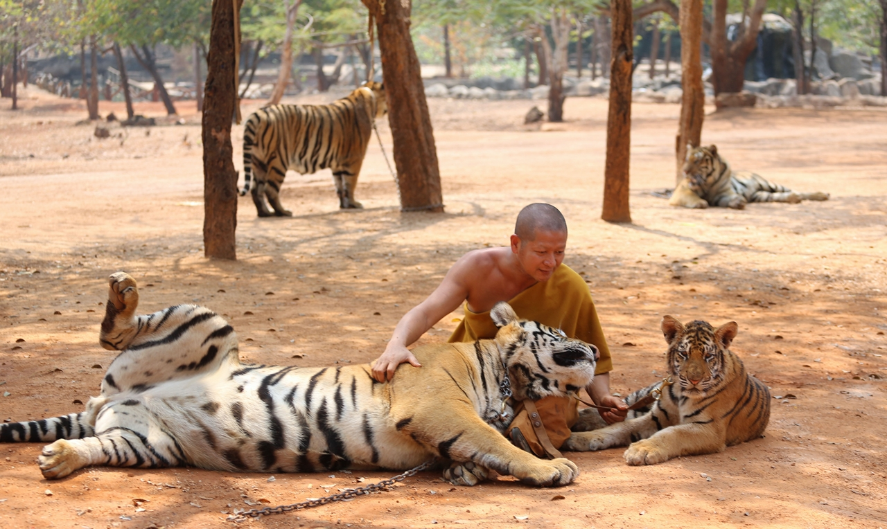 Thai tiger temple 21