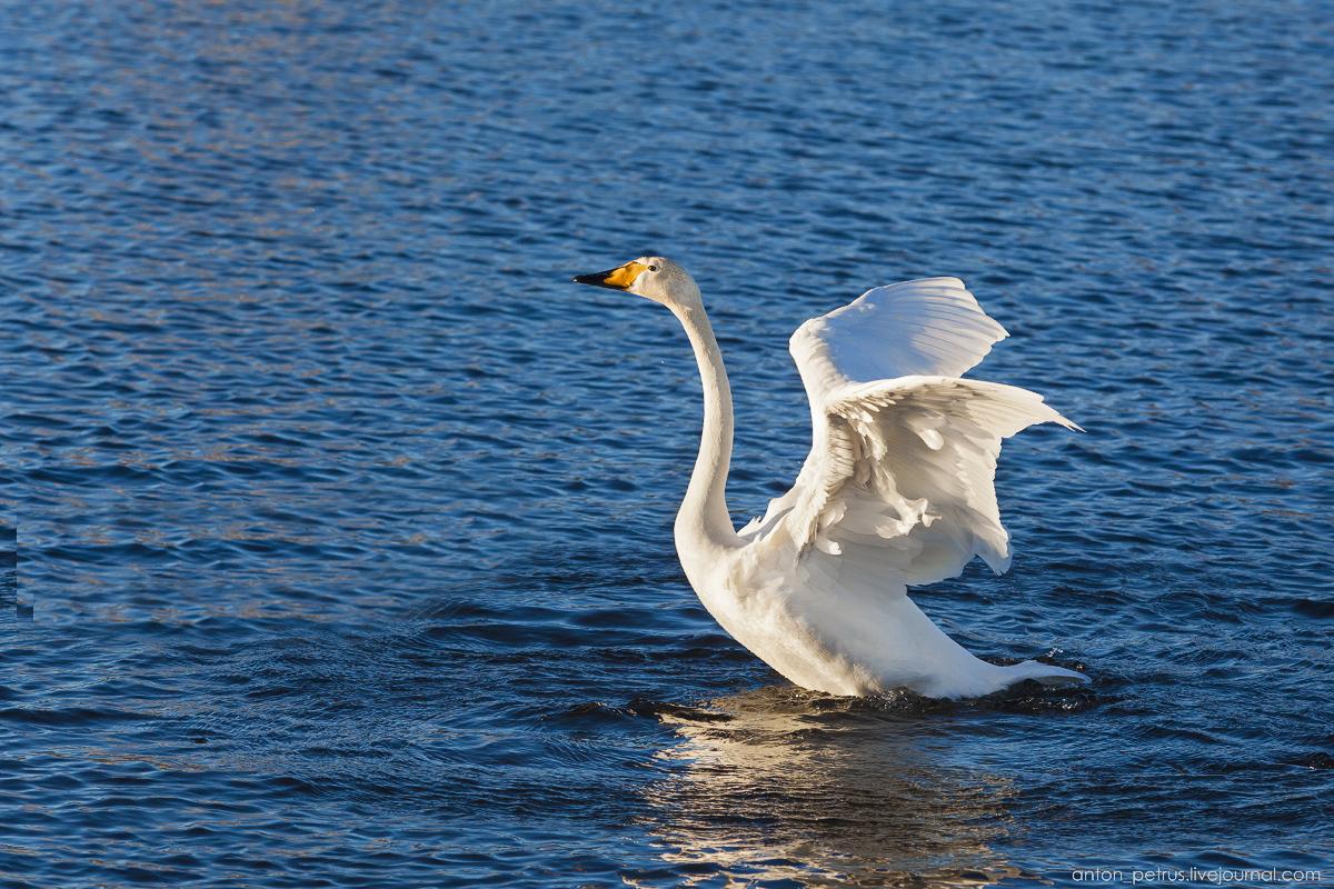 The ballet Swan lake 01