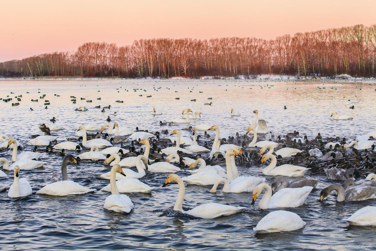 The ballet Swan lake 02