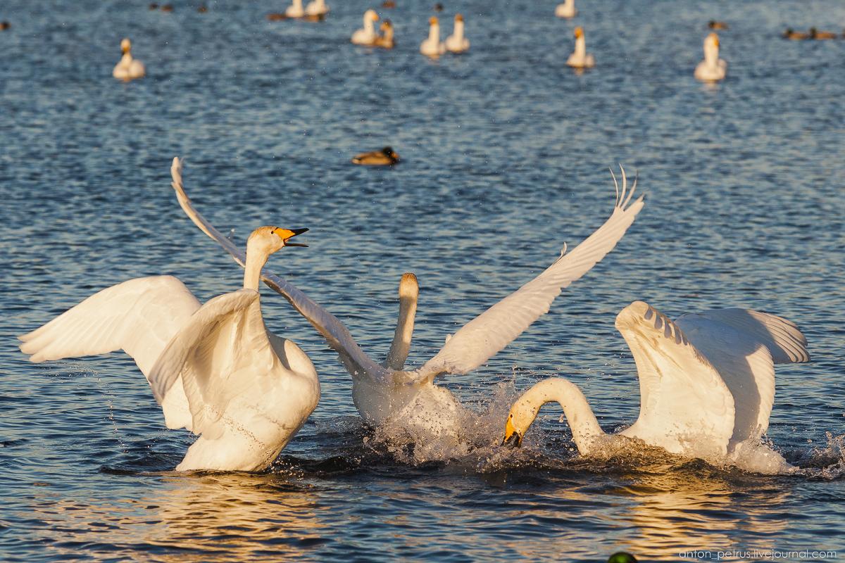 The ballet Swan lake 04