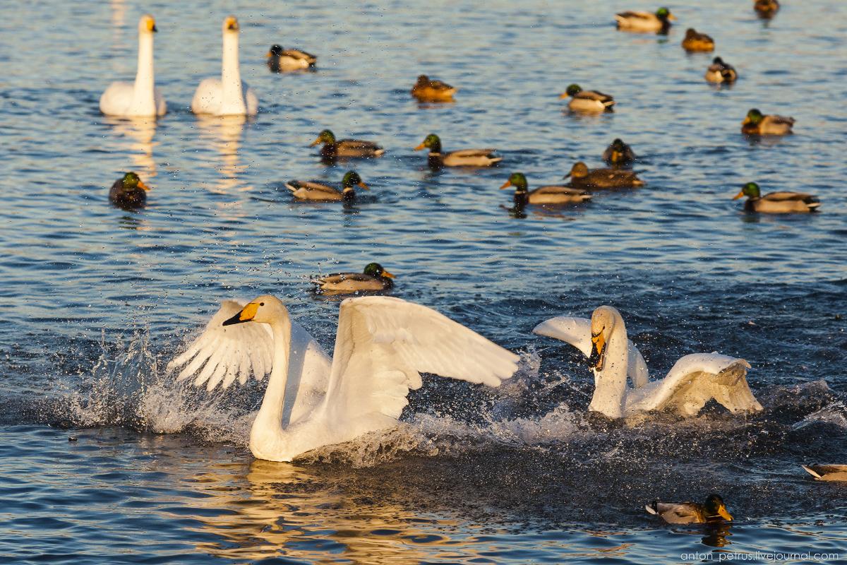 The ballet Swan lake 05