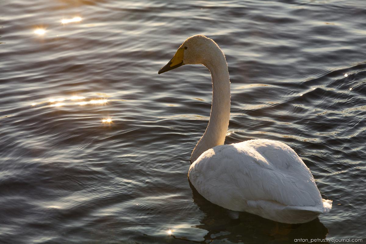 The ballet Swan lake 06