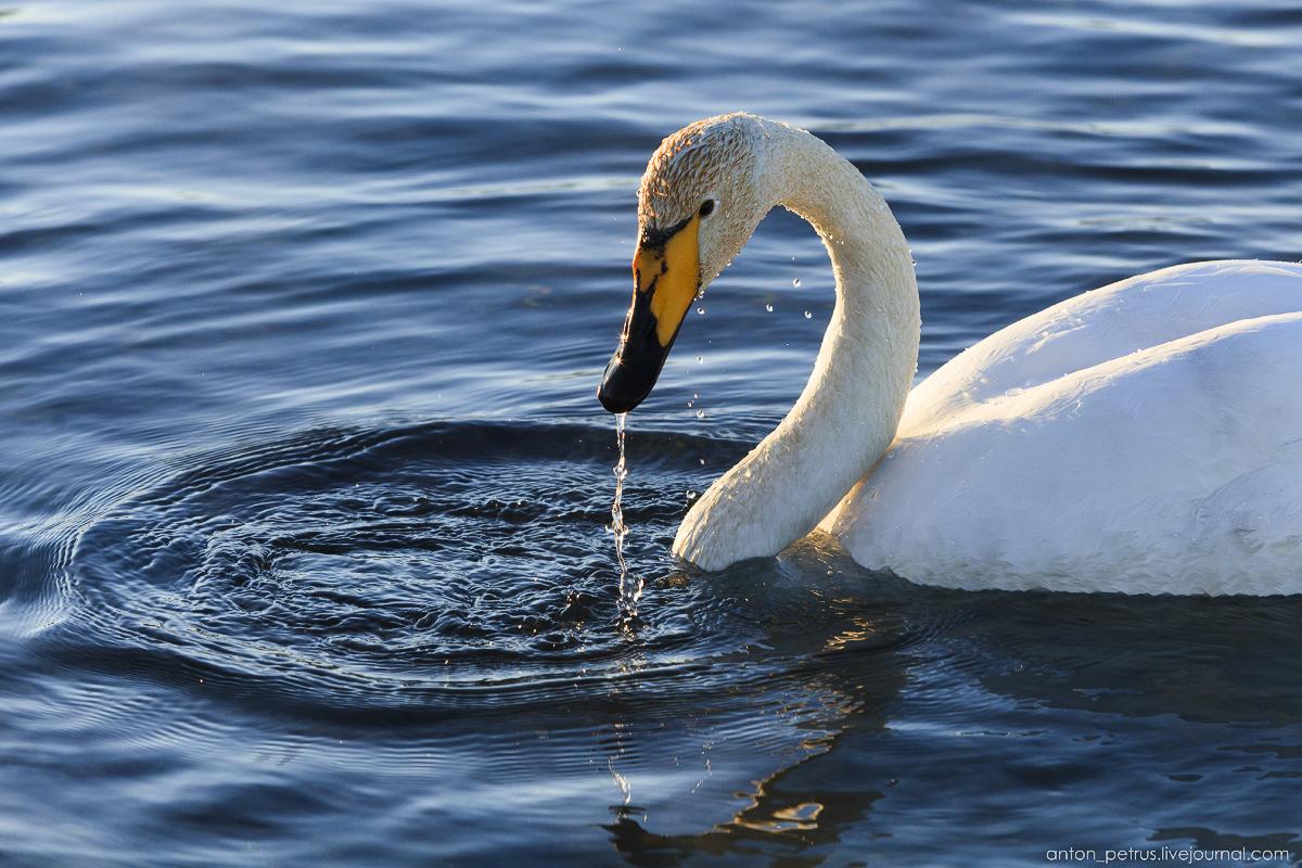 The ballet Swan lake 07