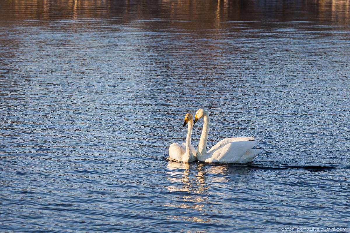 The ballet Swan lake 09