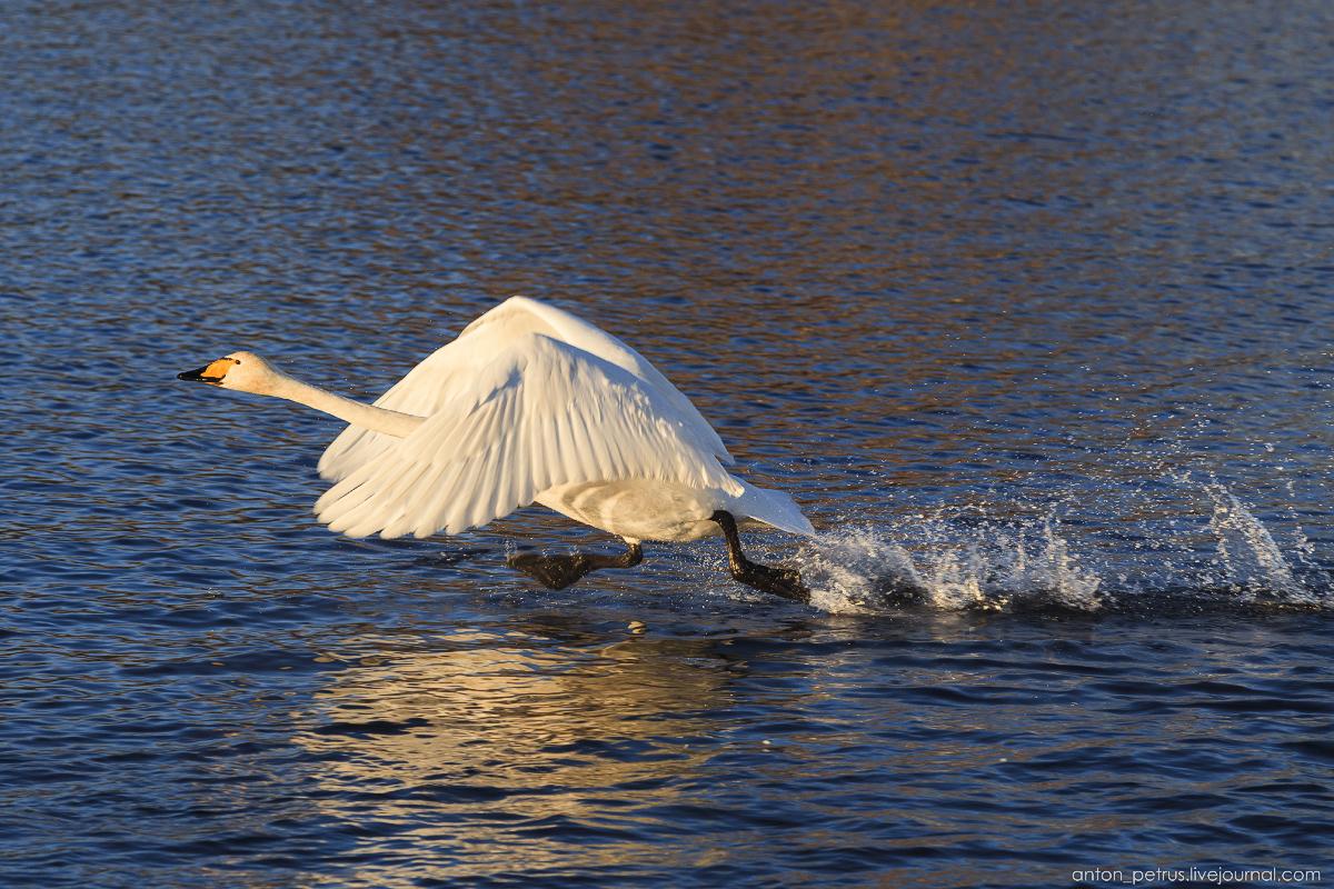 The ballet Swan lake 10