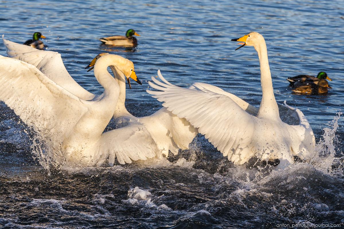 The ballet Swan lake 12