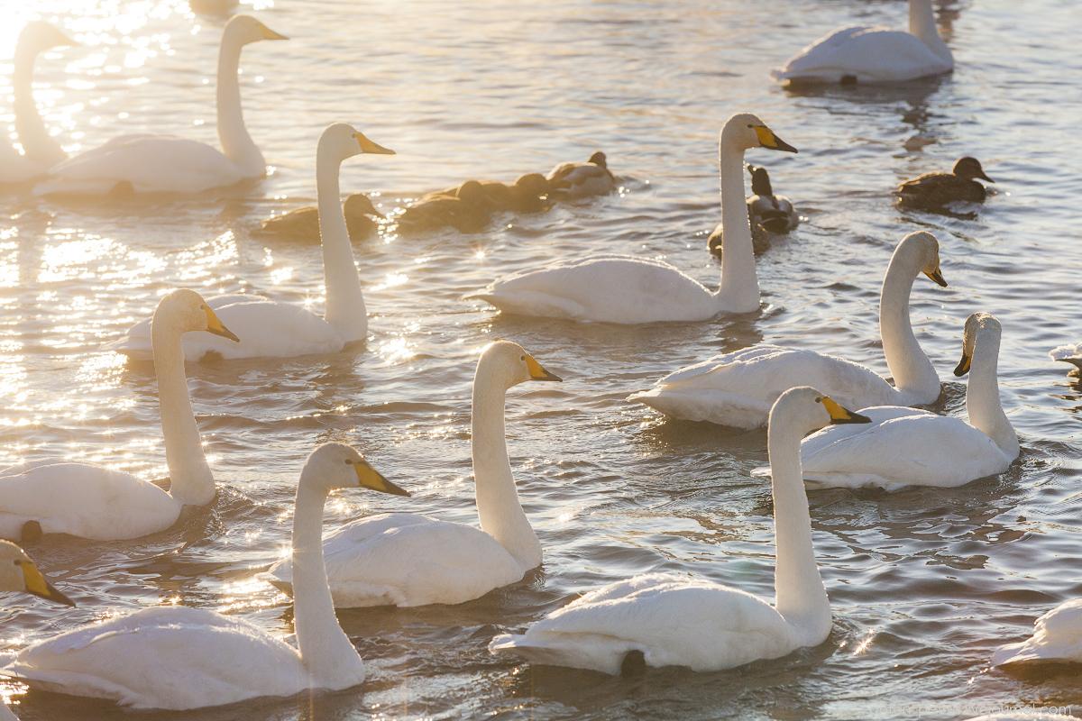 The ballet Swan lake 13