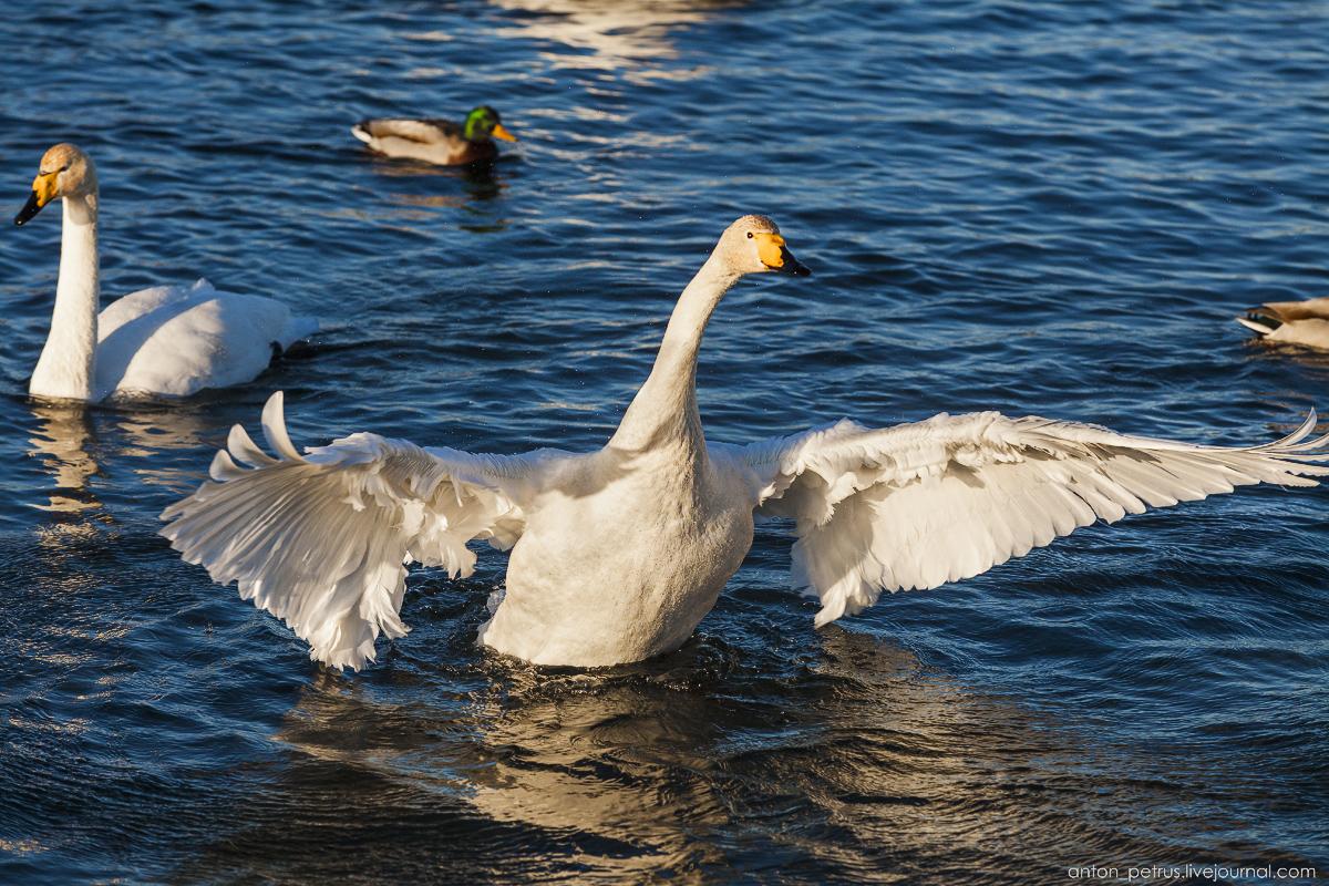 The ballet Swan lake 14