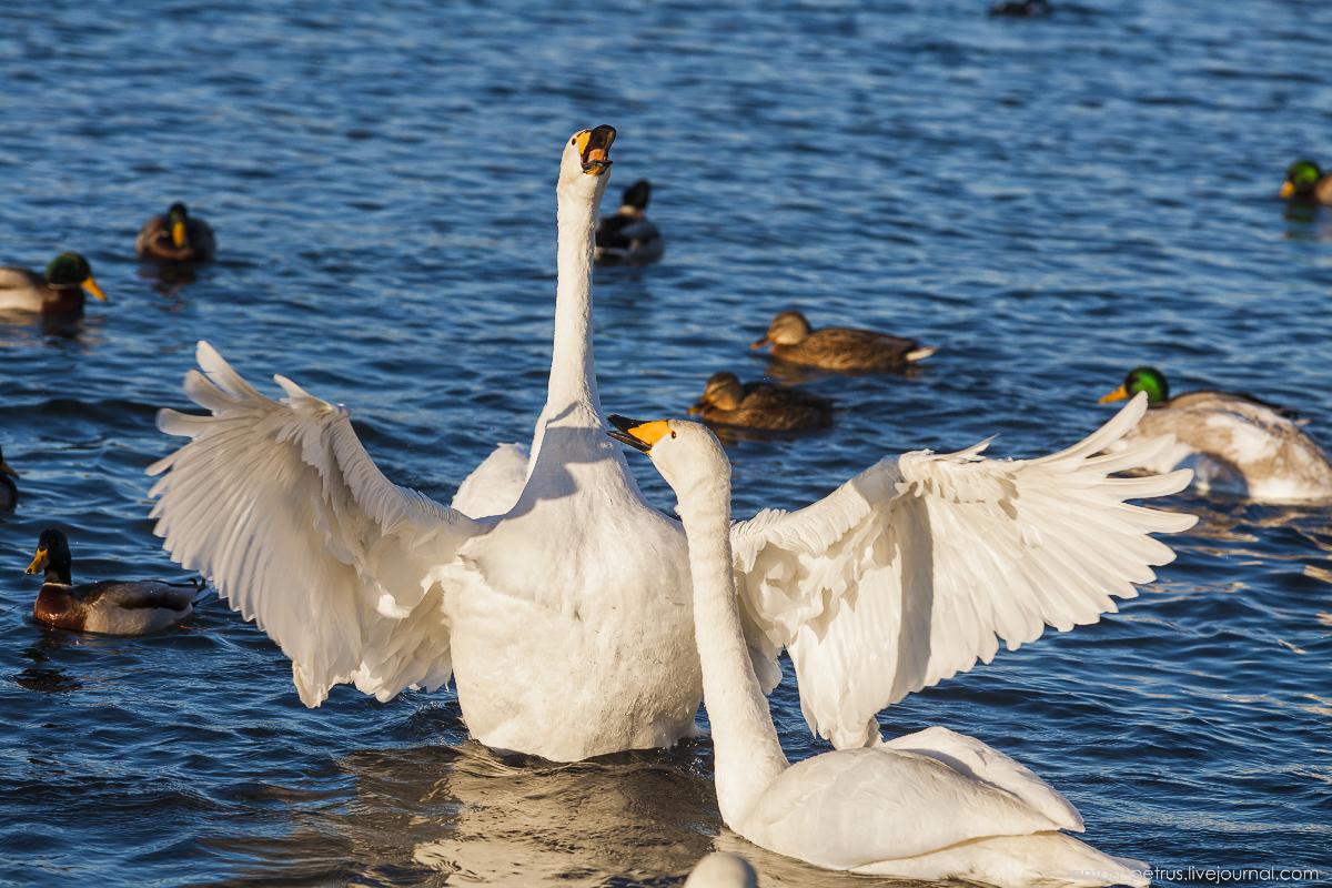 The ballet Swan lake 15