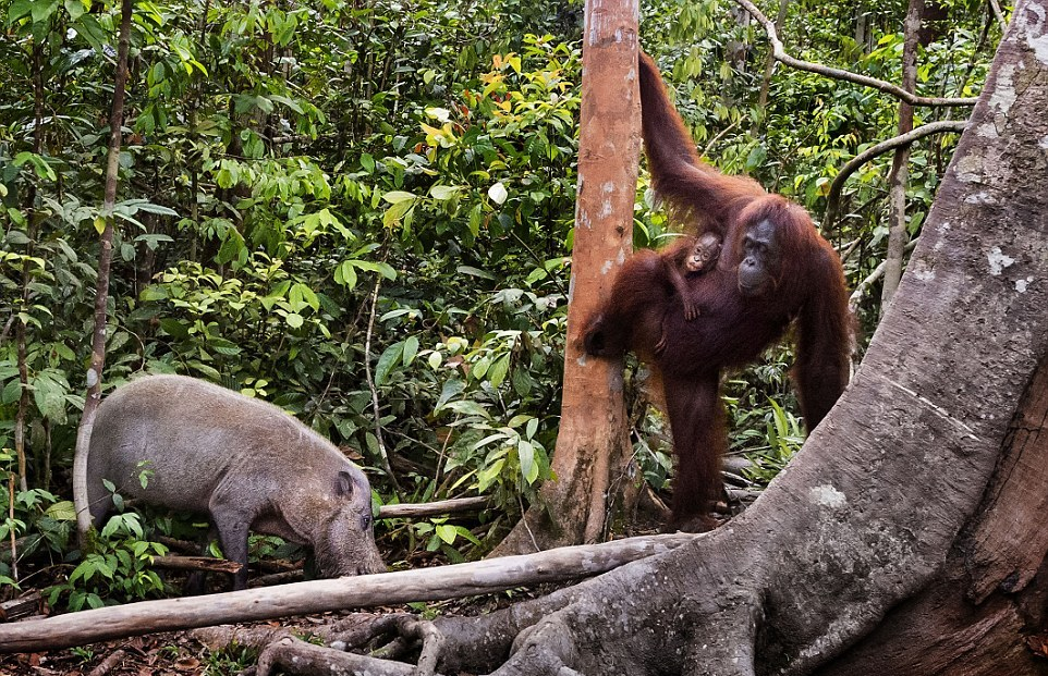 The female orangutan drove a stick boar from her cub 02