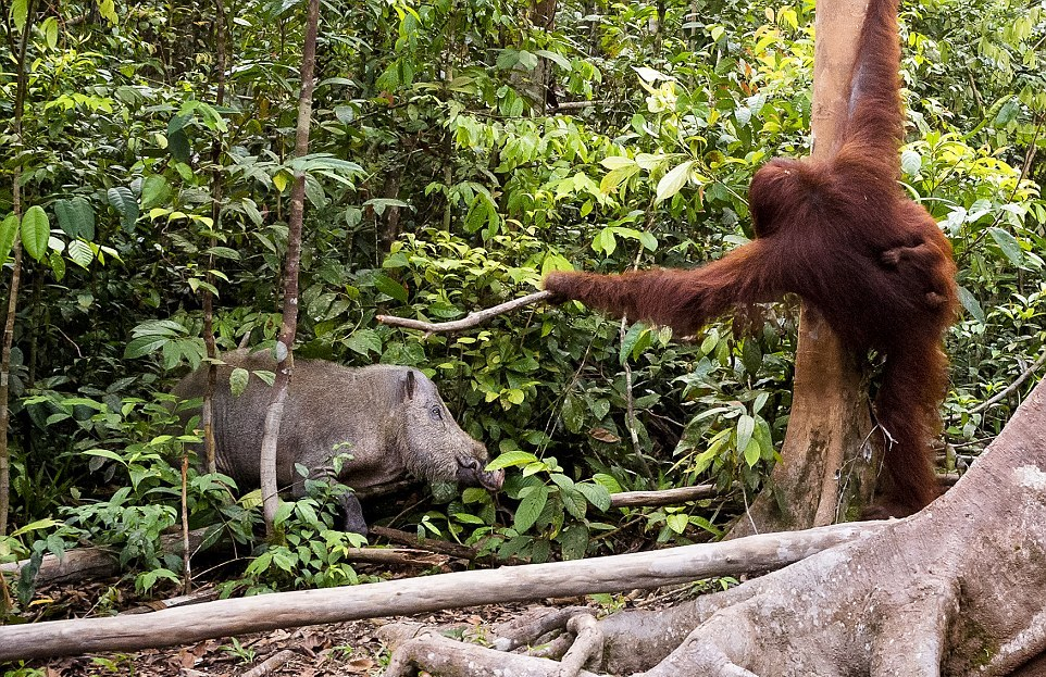 The female orangutan drove a stick boar from her cub 03