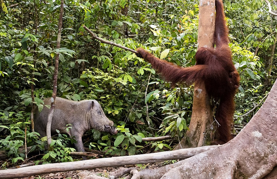 The female orangutan drove a stick boar from her cub 05