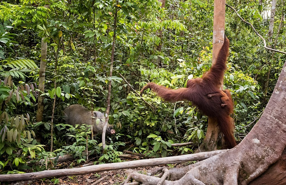 The female orangutan drove a stick boar from her cub 07