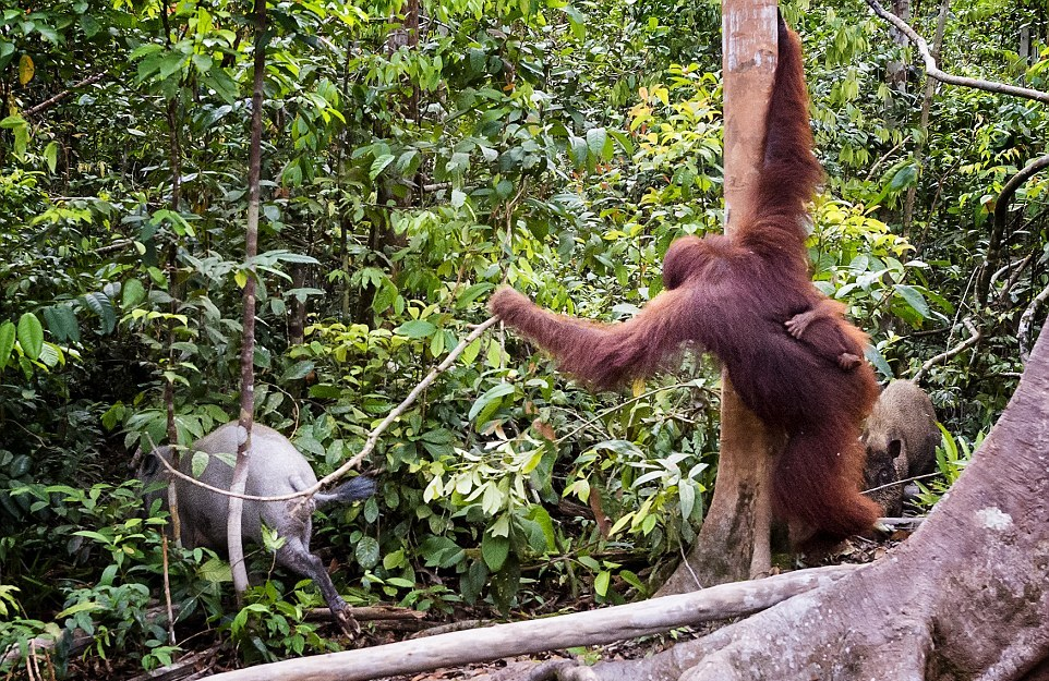 The female orangutan drove a stick boar from her cub 08