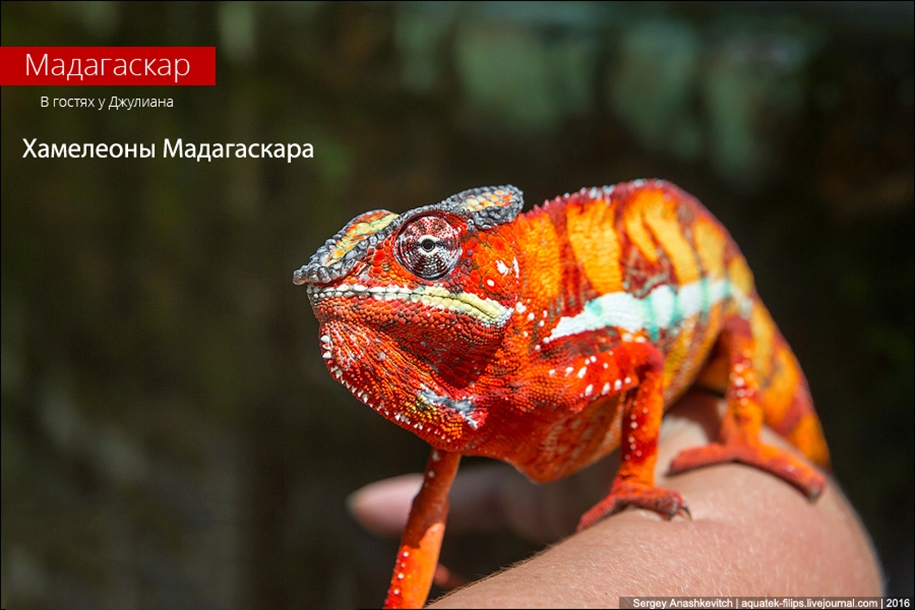 The parade of chameleons of Madagascar 01