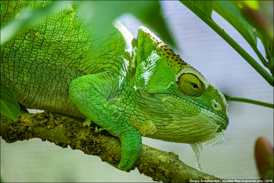 The parade of chameleons of Madagascar 03