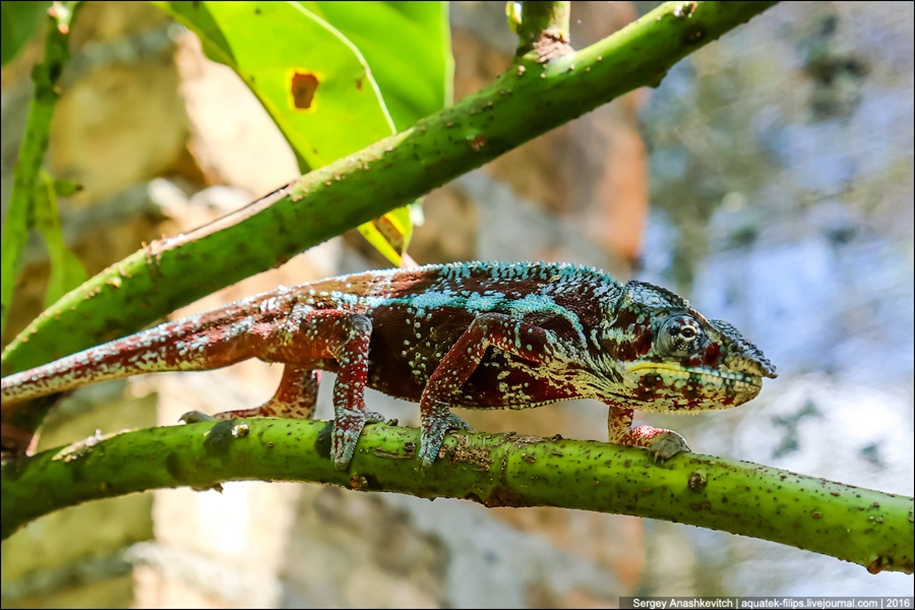 The parade of chameleons of Madagascar 04
