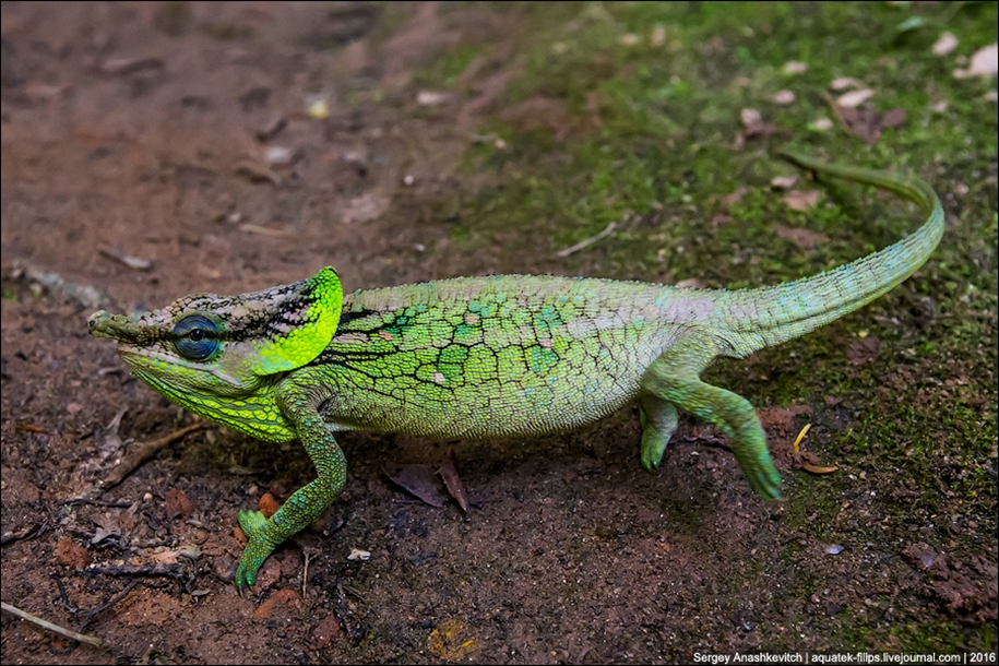 The parade of chameleons of Madagascar 12